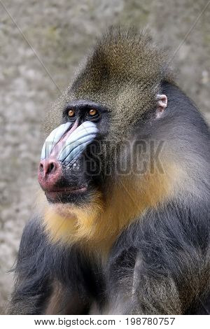 A colorful adult Male Mandrill portrait with a blurry background