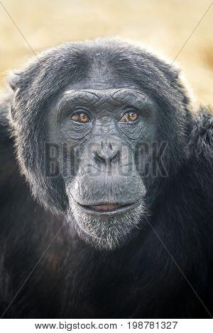 A Chimpanzee portrait with a blurry background