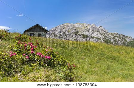 Hairy Alpenrose with old stone hut and mountain Gartnerkofel on Nassfeld in Carnic Alps in Austria