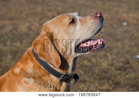 Dog Labrador Retriever fawn colour sitting looking to the side.
