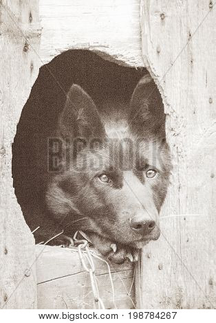 Portrait of a black dog watching from the booth. Art photography. Photo toned sepia. Added noise.