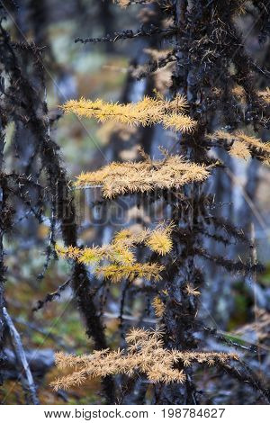 Yellow needles of the Siberian larch and lichen on the black branches in the forest in autumn. Evenkiya Krasnoyarsk region Russia taiga Siberia