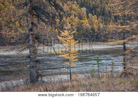 Young larch in the background of the river and taiga in autumn. Evenkiya Krasnoyarsk region Russia