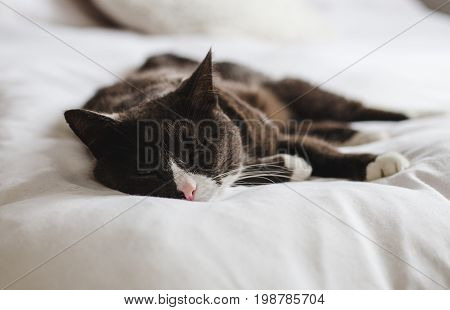 Sleepy grey, brown and white fluffy cat rests with eyes closed on bright white comfy bed