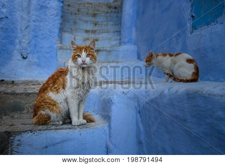 Cats In Chefchaouen, The Blue City In The Morocco.