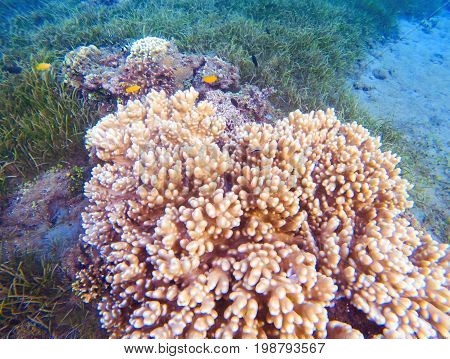 Pink corals in tropical seashore. Undersea landscape photo. Fauna and flora of tropical shore. Coral reef underwater photo. Snorkeling in tropics. Exotic island seaside vacation. Marine aquarium view