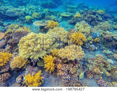 Yellow corals in tropical seashore. Undersea landscape photo. Fauna and flora of tropical shore. Coral reef underwater photo. Snorkeling in tropics. Exotic island seaside vacation. Aquarium background