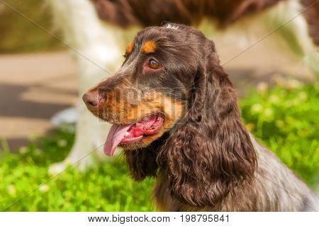 English Springer Spaniel, green background. Space under the text. 2018 year of the dog in the eastern calendar Concept: parodist dogs, dog friend of man, true friends, rescuers.