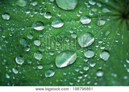 Dew drops on a green leaf. Placer of diamonds. Rain, dew. Background, texture of drops of dew