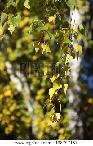 Tree with leaves. Russin forest on autumn.