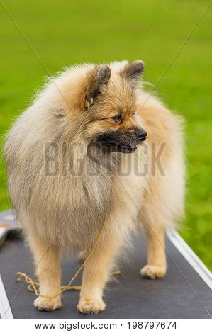 Pomeranian Spitz, green background. Space under the text. 2018 year of the dog in the eastern calendar Concept: parodist dogs, dog friend of man, true friends, rescuers.
