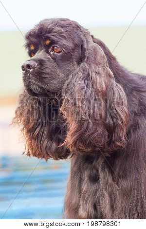 American Cocker Spaniyel with sad eyes, green background. Space under the text. 2018 year of the dog in the eastern calendar Concept: parodist dogs, dog friend of man, true friends, rescuers.