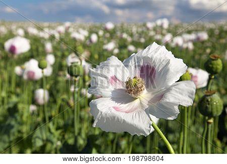 Detail of flowering opium poppy in Latin papaver somniferum poppy field white colored poppy is grown in Czech Republic