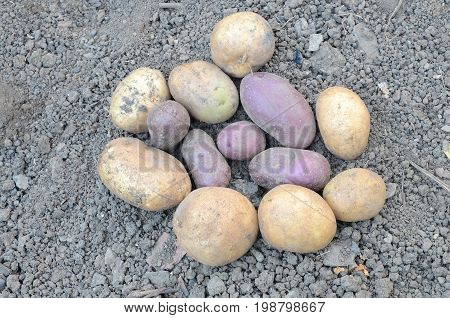 Potatoes of two varieties lie on the ground.
