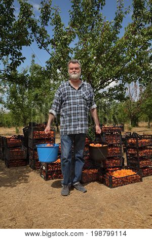 Agriculture, Farmer In Apricot Orchard