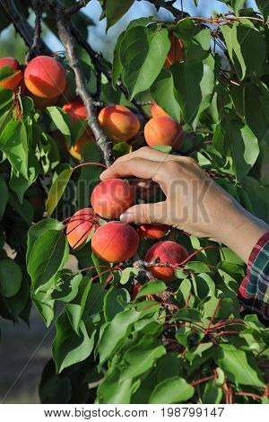 Female farmer hand picking apricot fruit from tree in orchard