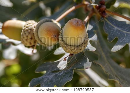 Several mature acorns on a branch in foliage
