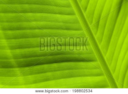 Green leaf close-up texture. Natural backdrop. Tropical nature detail. Fresh green banana leaf background. Exotic leaf banner template or package design. Tropical leaf in sun surface. Youth concept