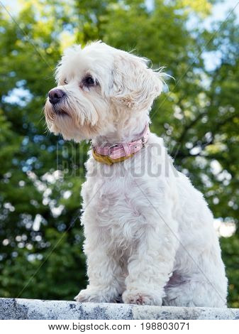 Portrait of watchful havanese dog sitting on wall