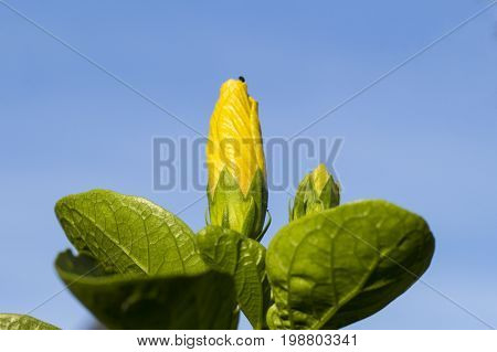 Tropical flower in sunny garden photo. Yellow hibiscus bud on green bush. Exotic island blooming nature. Summer travel photo. Vibrant yellow tropical flower. Exotic garden. Green leaf and yellow bloom