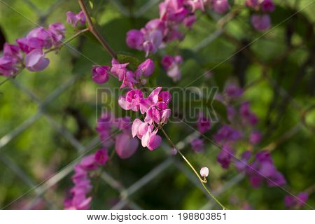 Tropical flower in sunny garden photo. Sweet peas closeup on fence. Pink blossom and green leaves. Peasblossom vine twines on lattice. Summer garden detail. Sunny day in flower garden. Gentle flower