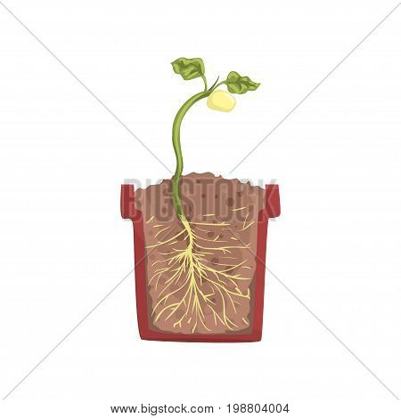 Green plant growing from seed of a bean in a pot with ground soil, stage of growth, pot in a cross section vector Illustration on a white background