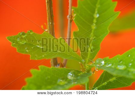 Sprout Of Oak With Raindrops.