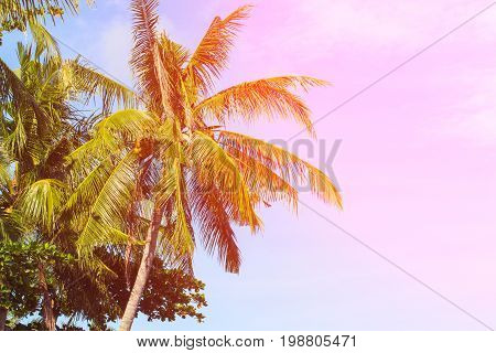 Pink flare on coco palm trees. Tropical landscape with palms. Palm tree crown on blue sky. Sunny tropical island toned photo. Sunshine on palm leaf. Blooming tropical nature. Exotic island travel