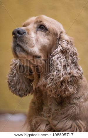 English Cocker Spaniel on yellow background looking to infinity
