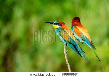 Group of European bee-eater or Merops apiaster is perching on a twig