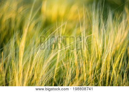 Feather or spear grass swaying in wind at sunrise in steppe
