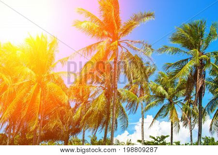 Orange flare on coco palm trees. Tropical landscape with palms. Palm tree crown on blue sky. Sunny tropical island toned photo. Sunshine on palm leaf. Blooming tropical nature. Exotic island travel