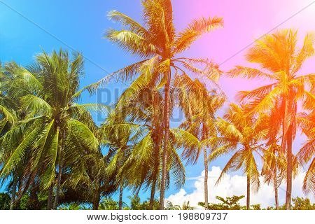 Coco palm tree in pink flare. Tropical landscape with palms. Palm tree crown on blue sky. Sunny tropical island toned photo. Sunshine on palm leaf. Blooming tropical nature. Exotic island travel