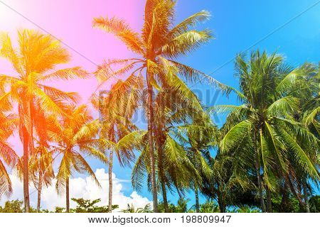 Vibrant filter on coco palm trees. Tropical landscape with palms. Palm tree crown on blue sky. Sunny tropical island toned photo. Sunshine on palm leaf. Blooming tropical nature. Exotic island travel