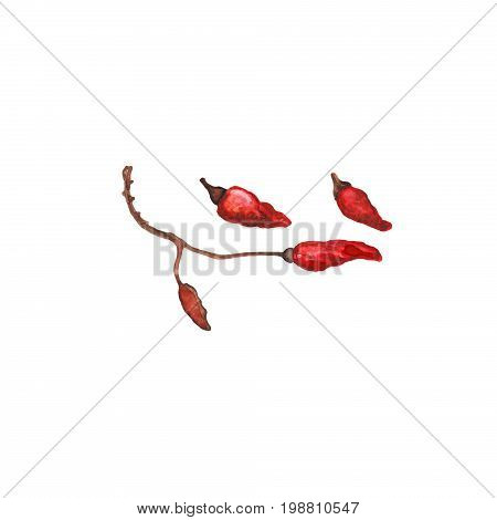 Red pepper on branch handdrawn illustration. Hot pepper watercolor painting on white background. Dried red pepper pod isolated. Spicy cooking ingredient for recipe book. Red hot chili pepper icon