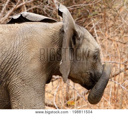 Young elephant with it's trunk wrapped around itself in South Luangwa National Park Zambia