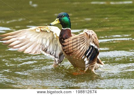 Male Wild Duck (anas Platyrhynchos) Swimming In The Water