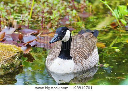 Canada Goose Branta Canadensis. Canada goose, Branta canadensis. Wildlife animal.