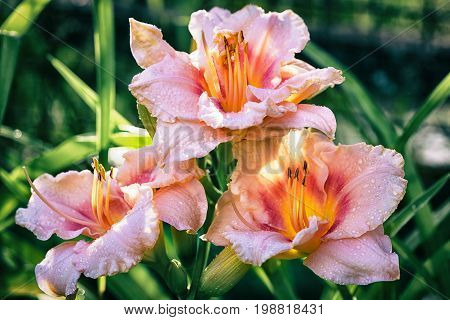 three varietal pink with yellow day lily hemerocallis flowers outdoor at the sunset light close up