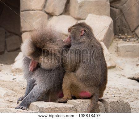 Faemale hamadryas baboon grooming a male baboon