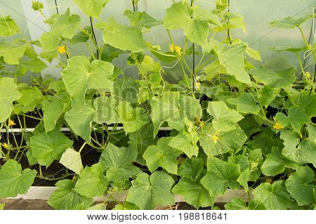 Green Shoots Of Cucumbers, The Flowers And Young Cucumbers, Growing Cucumbers In The Greenhouse