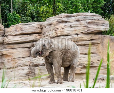 Young Asian elephant curls up his trunk
