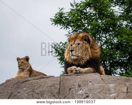 Proud lion and lioness lie on top of a rock