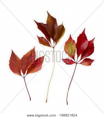 Autum season background, red leaves isolated on white background with copy space.