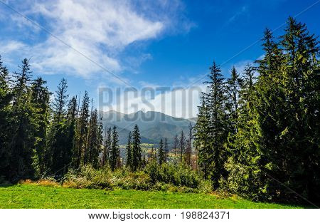 Spruce Forest On A Meadow In High Tatras