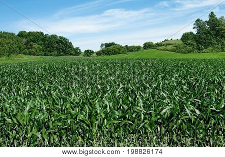Corn Fields on the Fourth of July:  Corn stalks reach a height of 3-4 feet in early July on a small farm in southern Wisconsin.