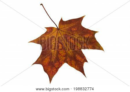 Bright autumn maple leaf isolated on white background. Yellow-brown maple leaf color. Changes in nature. Features of autumn coloring of maple leaves