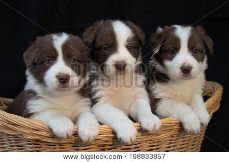 little  cuddly dog puppy's sitting in a basket