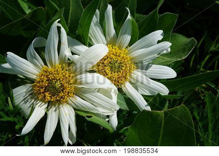 White-Wyethia wildflowers (Mules Ears) blooming in a Sawtooth mountain-meadow near Stanley, Idaho.