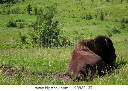 A Bison bull (American buffalo) resting in a Montana prairie.